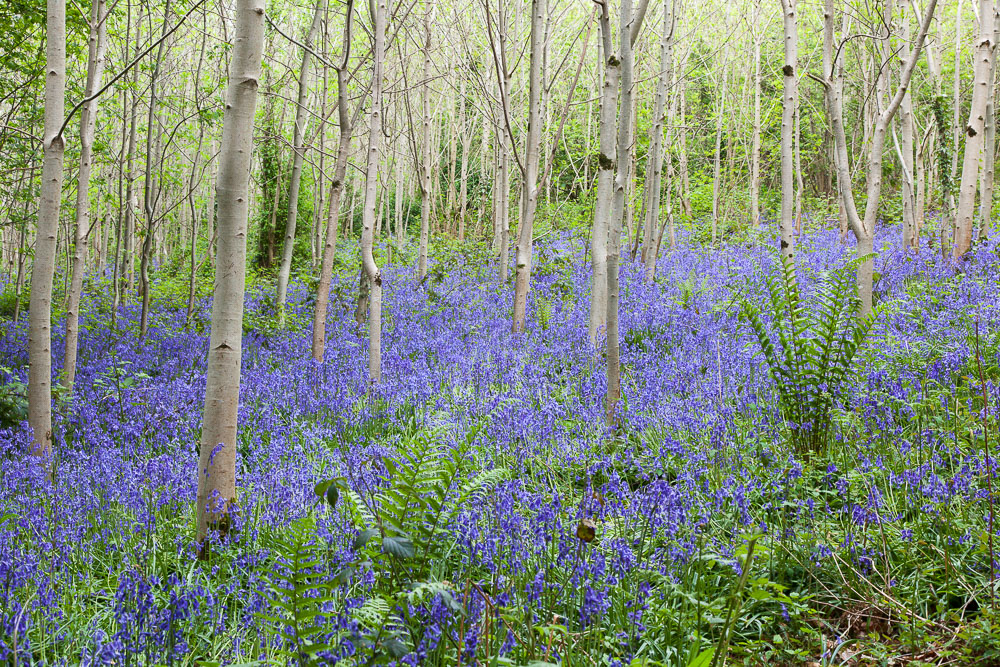 Came across this wood near Kilkenny with a beautiful display of bluebells
