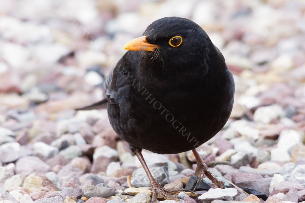 This blackbird was foraging for food on a cool February afternoon