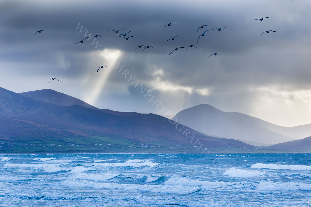 A Stormy day, Brandon Bay, With Oyster Catchers overhead, Kerry, Ireland