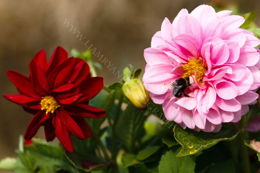 This bee is gathering nectar from dahlias