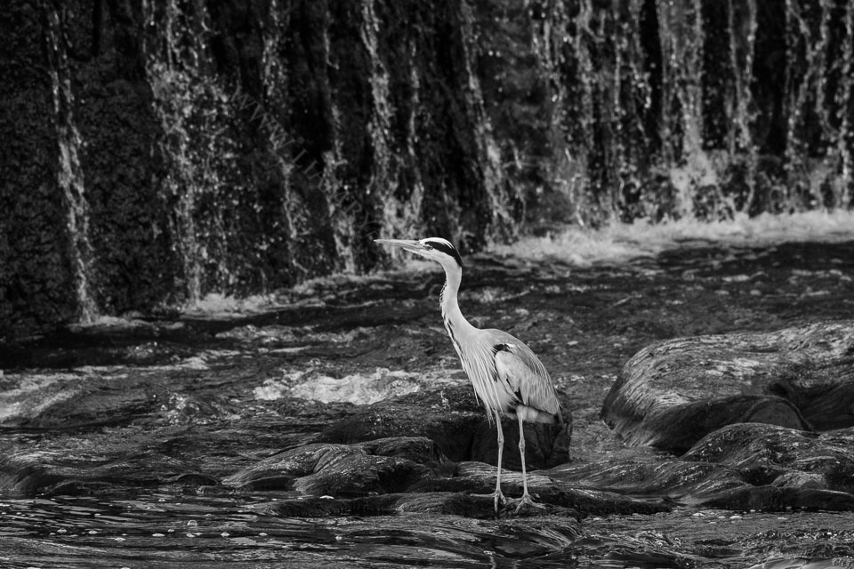 Grey Heron watching for fish on the Bandon River