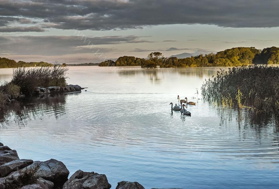Swans at sunrise on Lough Leane Killarney, Ireland