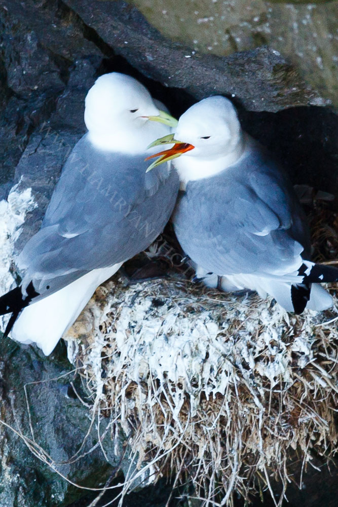 These Kittwakes were nesting on the cliffs of Skellig Michael