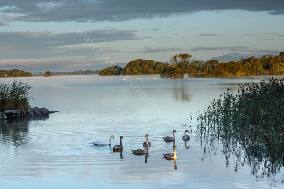Swanning around in the early morning sunshine, Lough Leane Co.Kerry