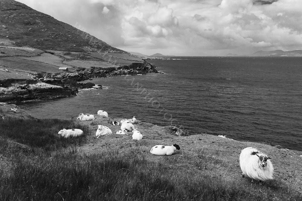 Sheep near Coulagh Bay on the Beara Peninsula.