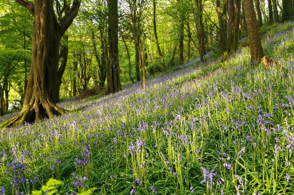 Bluebells in the Woods Courtmacsherry, West Cork, Ireland