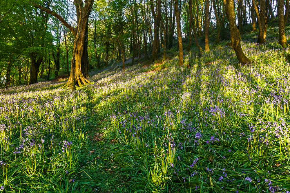 Bluebells in the Woods Courtmacsherry Ireland