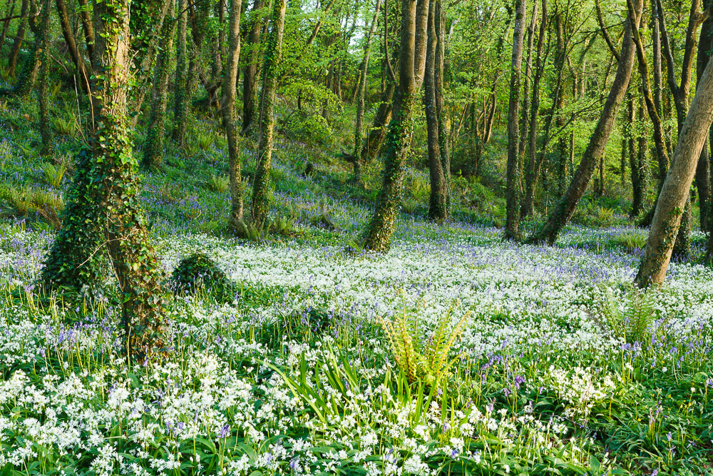 Bluebells and Wild Garlic in the Woods Courtmacsherry Ireland