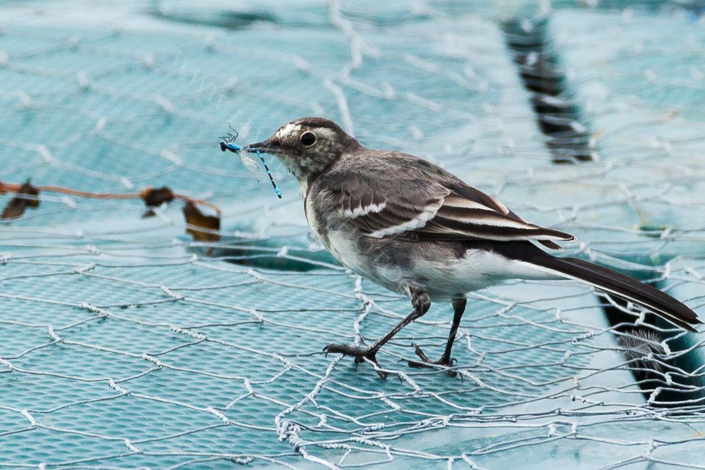 Lucky Pied Wagtail Unlucky Dragonfly