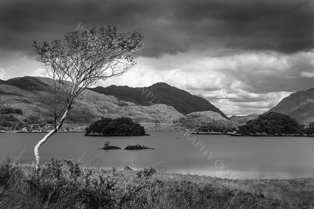Solitary Tree at Upper Lake Killarney