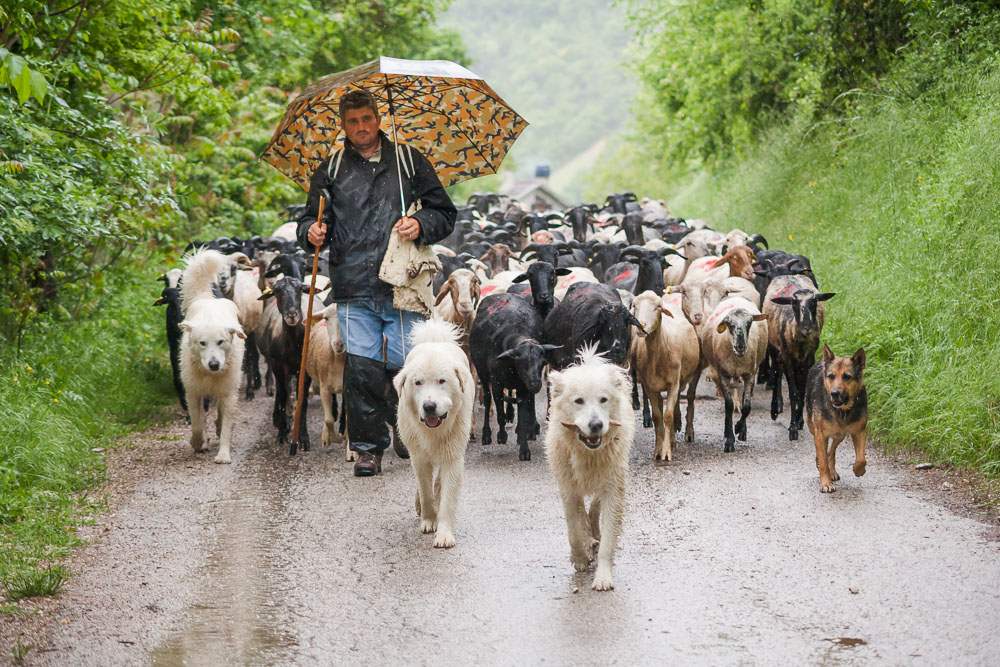 An Umbrian shepard bringing his sheep down from the mountains on a rainy day near Campi, Italy