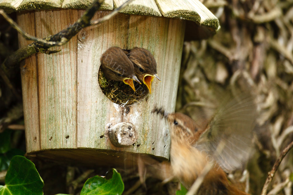 Wren busily feeding it's young with tasty morcels