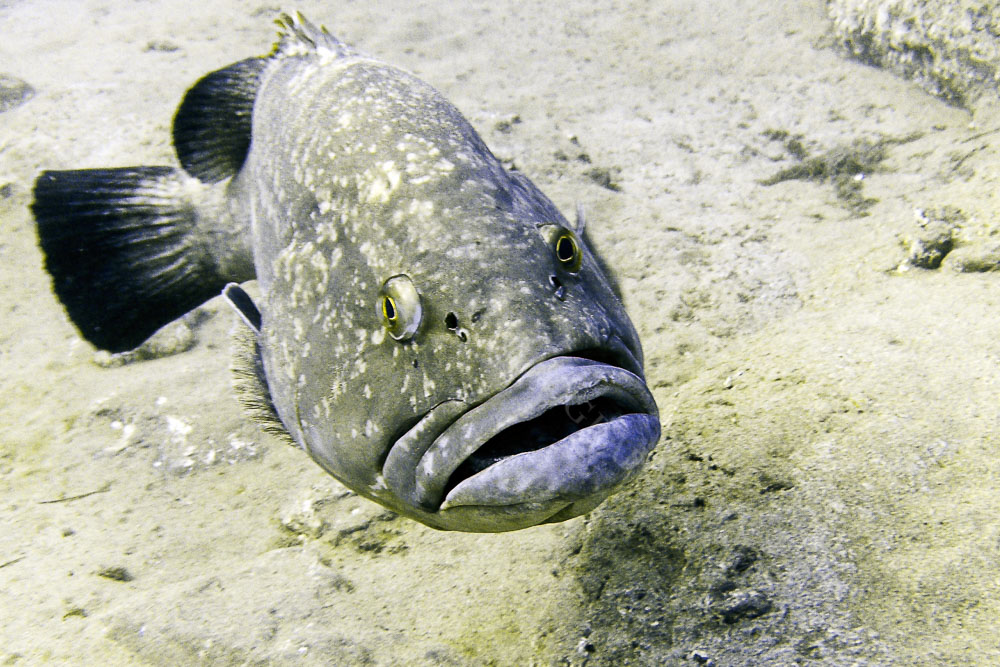 This Grouper fish in Lanzarote will come right up to you looking to be fed.