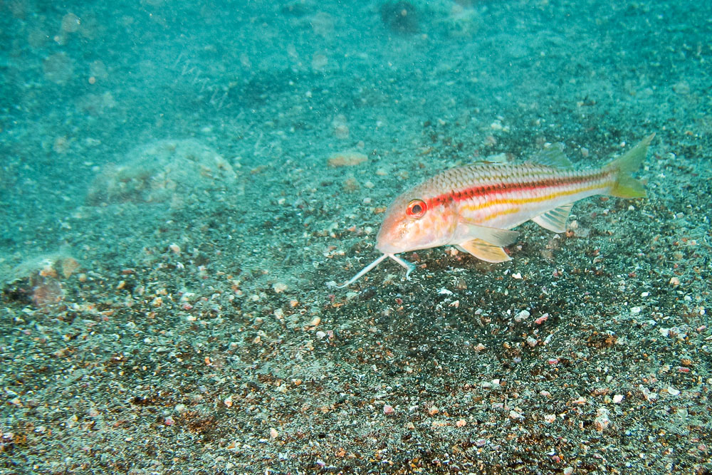 Red Mullet, Lanzarote