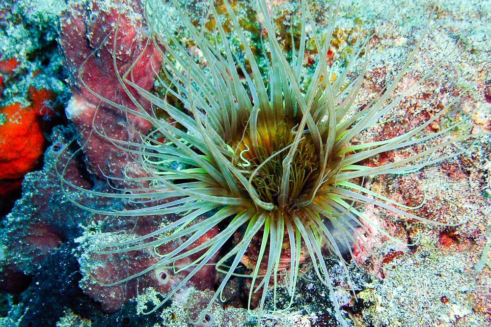 Sea Anemone, Lanzarote