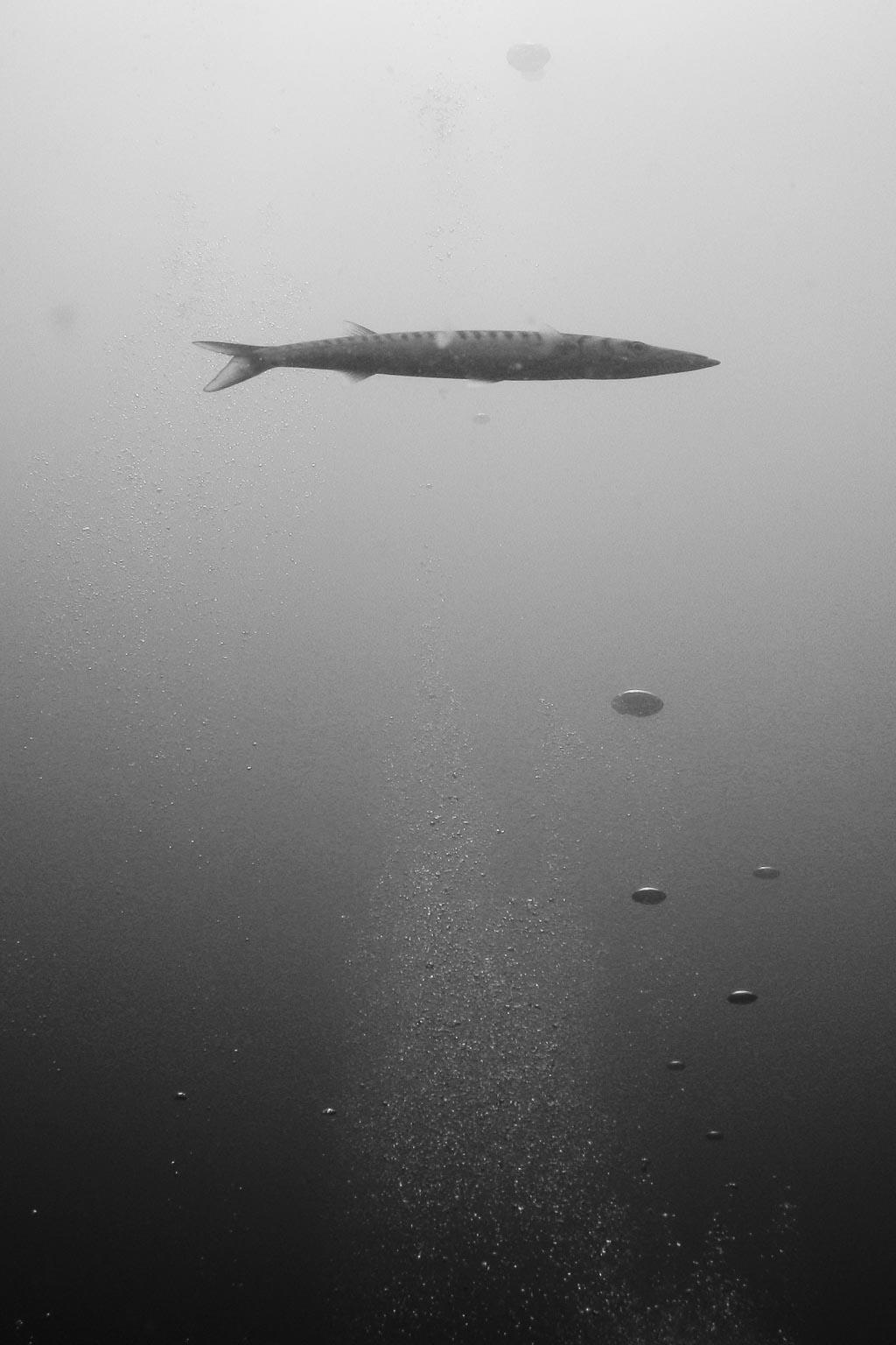 barracuda2.jpg