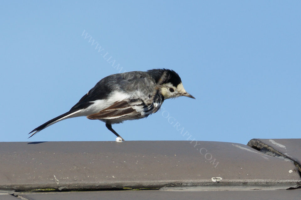 This Wagtail was having a good old scratch