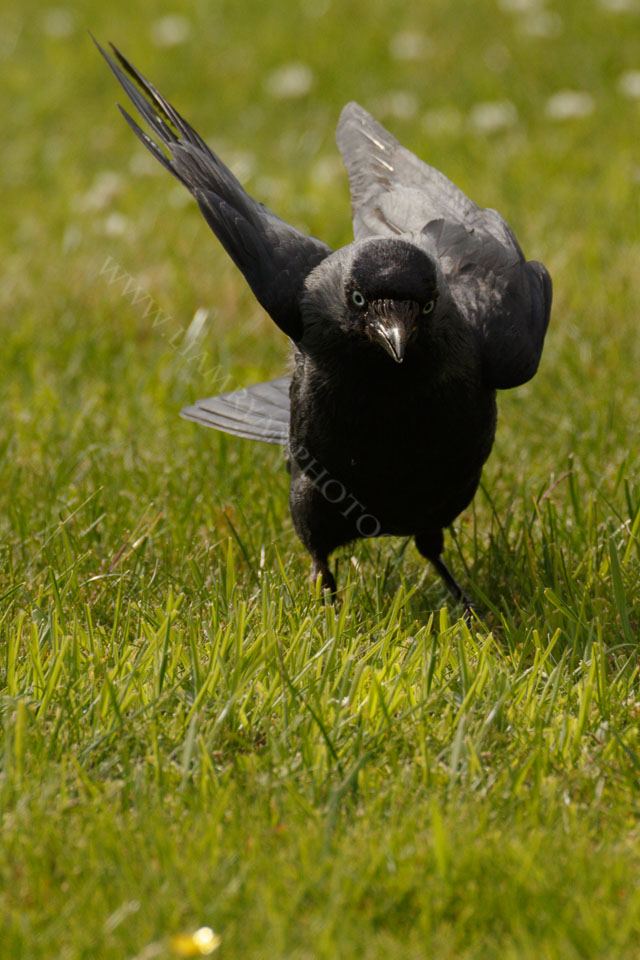 Crow running for takeoff