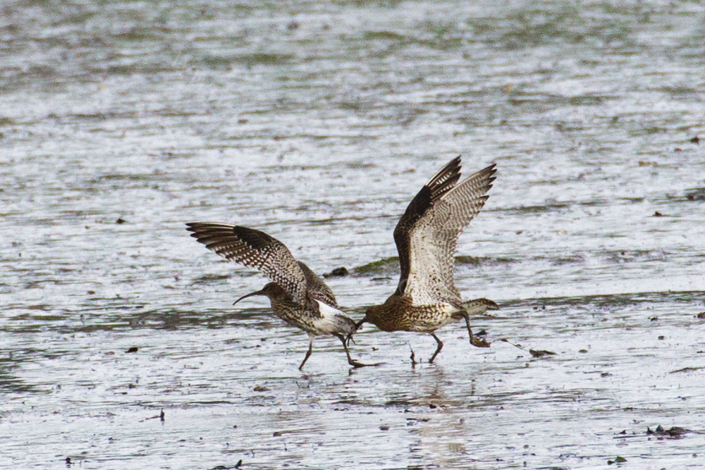 Two Curlews Having a Domestic