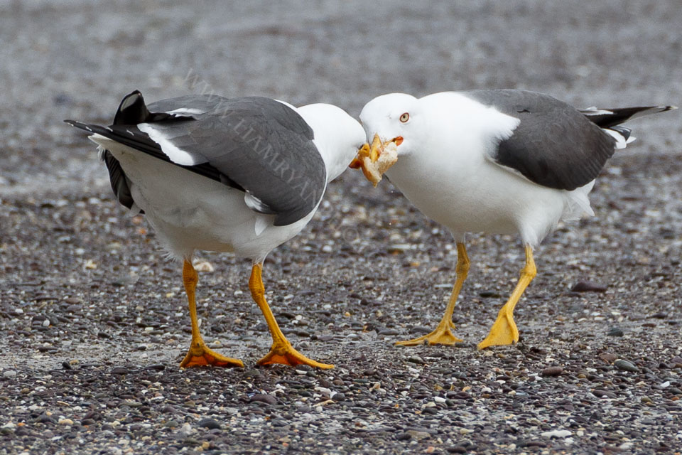 Seagulls Fighting for Scraps