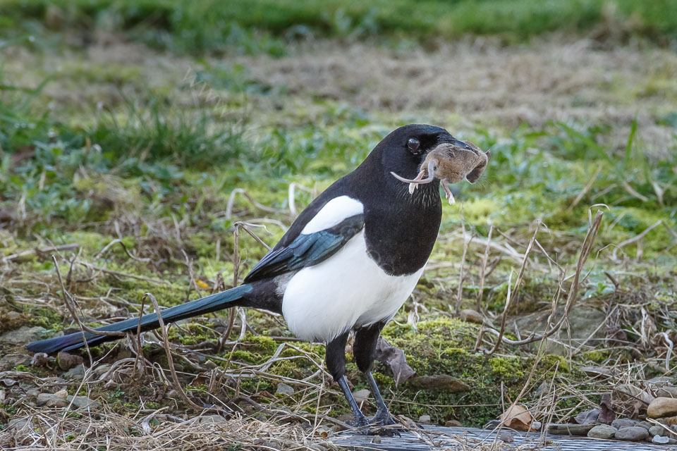 Lucky Magpie with a nice dinner.