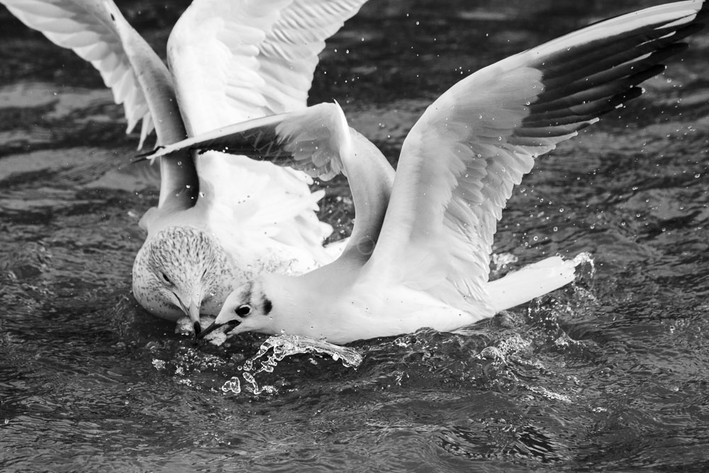 Two Seagulls Fighting Over a Piece of Food
