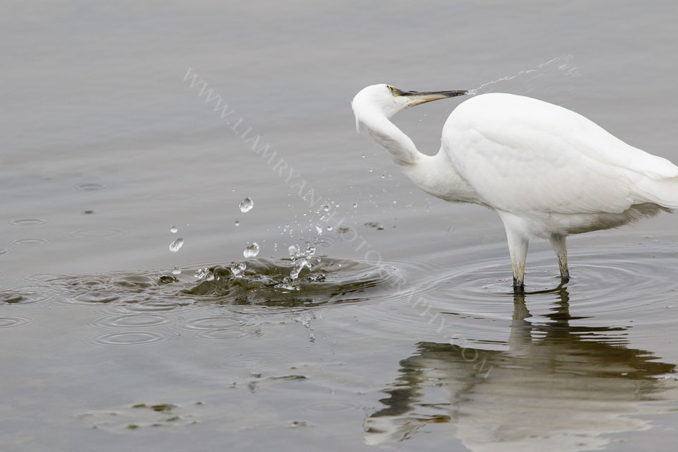 Little Egret plucking his meal at high speed