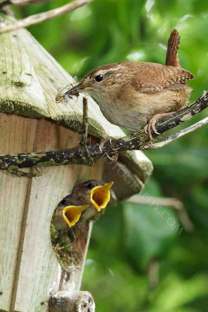 Captured this Wren busily feeding it's young early this morning, what a lovely sight.