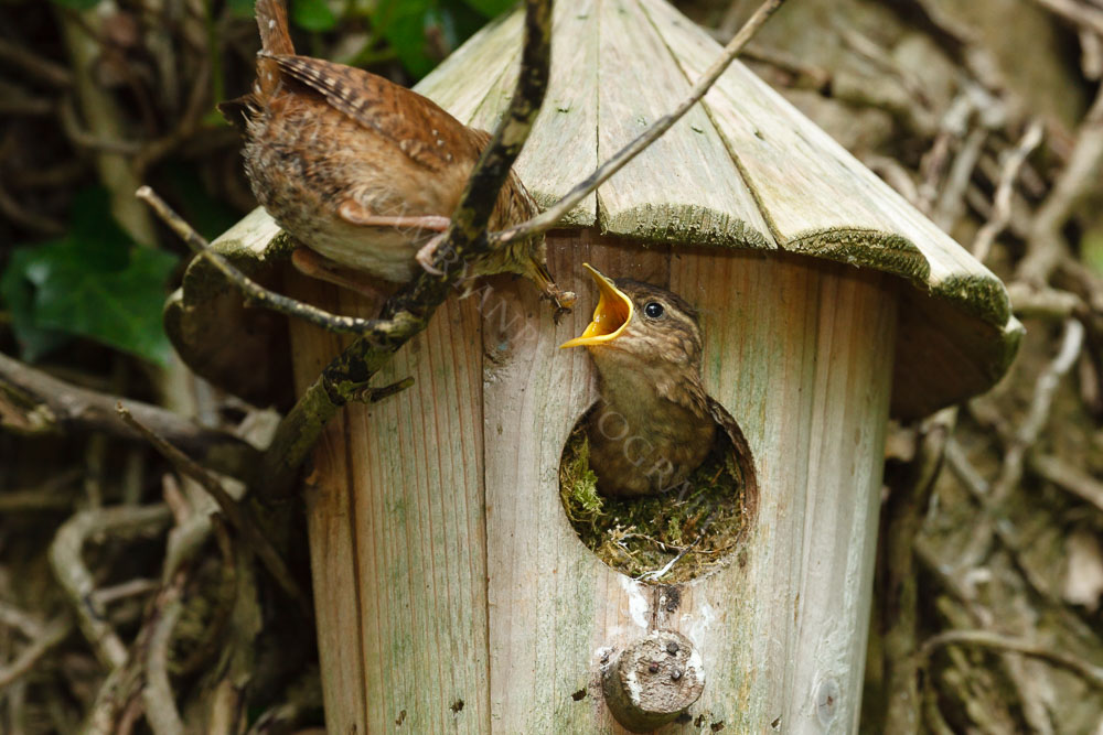 Another tasty snack for this young wren