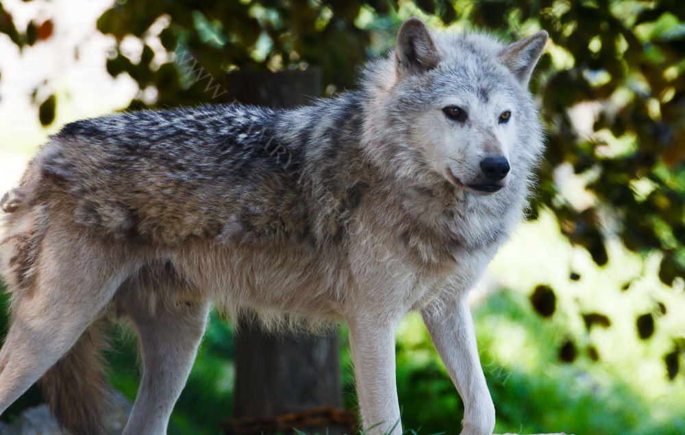 Captured this Grey Wolf in Dublin Zoo
